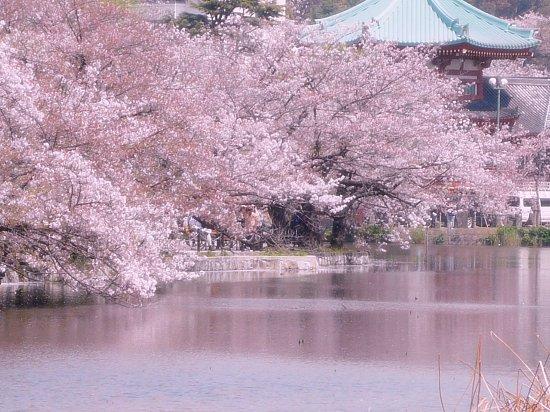 Taito, Japón: сакура вокруг