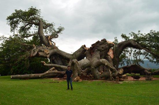 Limpopo Province, Güney Afrika: Recent photo of tree.