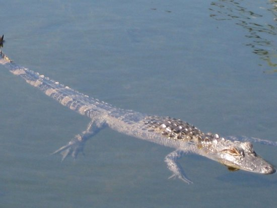 Country Inn & Suites By Carlson, Port Canaveral: en lille alligator ved hotellets p-plads