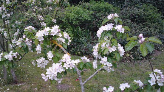 Chartham, UK: Blooming apple trees