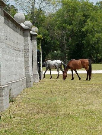 St. Marys, GA: Wild horses are abundant on the island