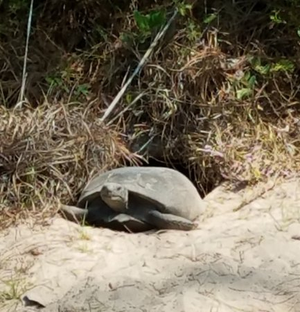 St. Marys, GA: The gopher tortoise is a unique animal that is not found in too many locations and burrows in th