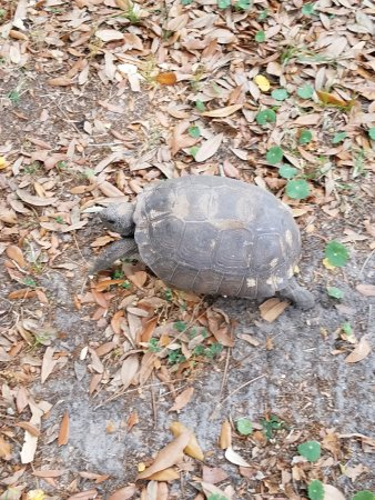 St. Marys, GA: This gopher tortoise was in a hurry