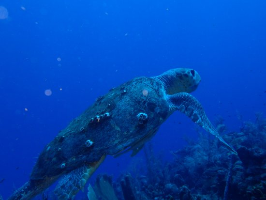 Sea Sports Belize : The largest turtle we have ever seen. The guides said it was probably 80 - 100 years old.