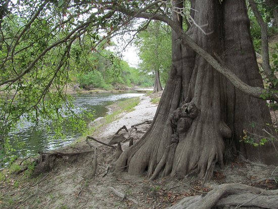 White Springs, Φλόριντα: Along the Suwannee River in the park.