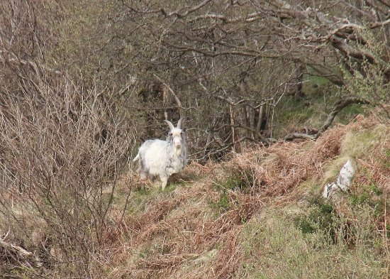 Wooler, UK: Goats come a visiting