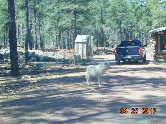Williams, AZ: Alpha male wolf standing in the middle of the road