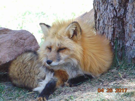Williams, Arizona: Red Fox