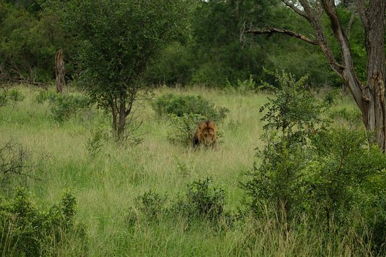 Hazyview, جنوب أفريقيا: Male lion