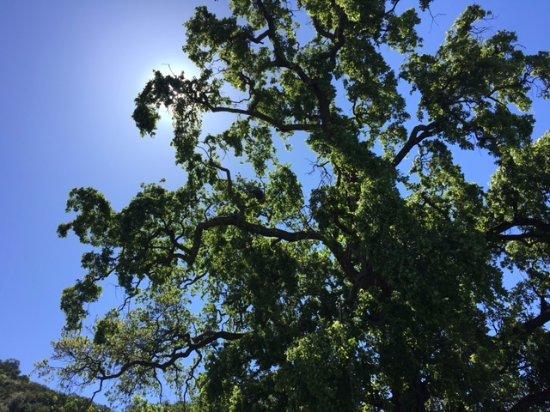 Sunol, CA: TREES