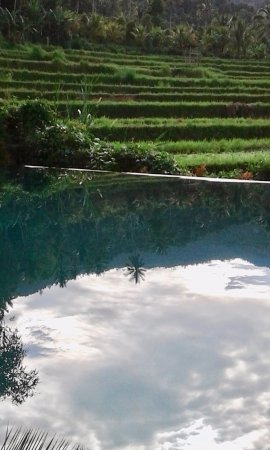 Rice field reflected in the eco swimming pool - Picture of Amartya ...