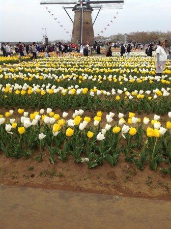 Sakura Tulip Festa: Tulip fest