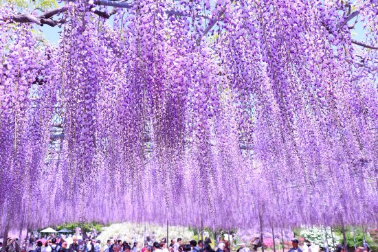 Ashikaga Flower Park 2020 All You Need To Know Before You Go