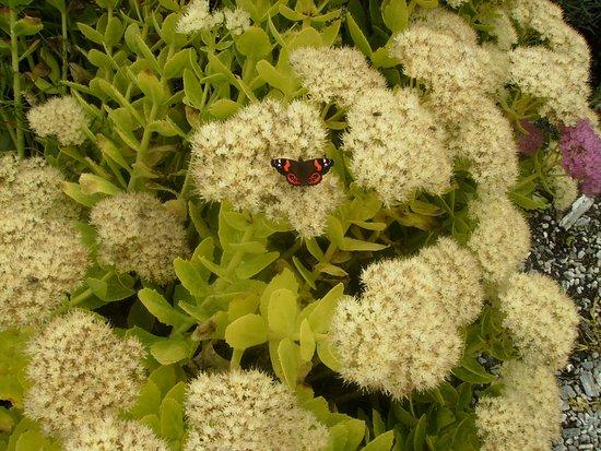 Chatham Island (Rekohu), نيوزيلندا: One of many butterflies