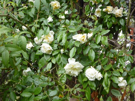 Jardin Du Domaine D'orvès: Roses grimpantes anciennes