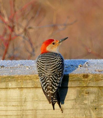 Burlington, Canada: Red Bellied Woodpecker