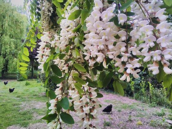 Saint-Antoine-de-Breuilh, Frankrike: Crème anglaise aux fleurs d'acacia du jardin