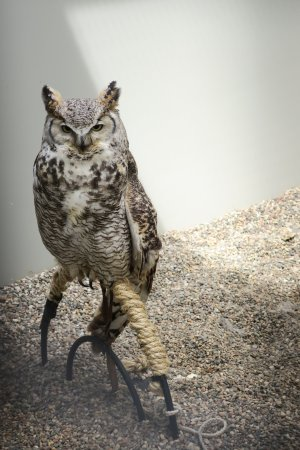 The Raptor Center: Great Horned Owl