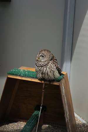 The Raptor Center: Barred Owl