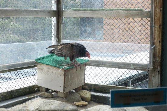 The Raptor Center: Turkey Vulture