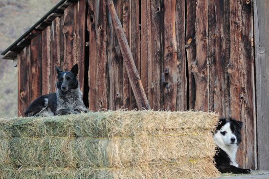 Wolf Creek, MT: Missy, Raz and Mister love to help with hay delivery!