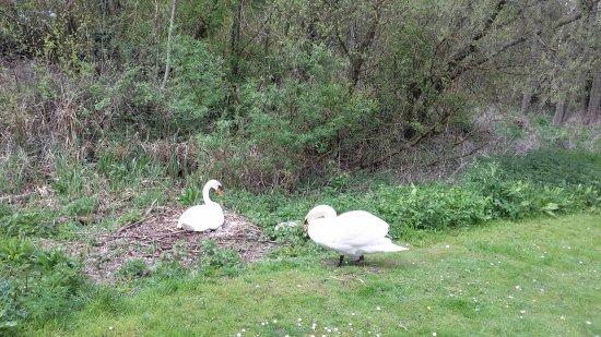 Pewsey, UK: Resident swans