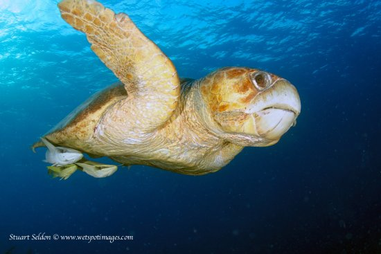 Long Caye, Belice: Hanging out with an immense Loggerhead.. we say several if these magnificant beasts