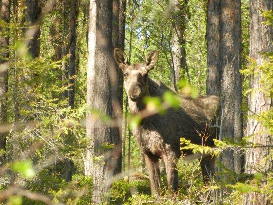 Gallivare, Schweden: nosy moose