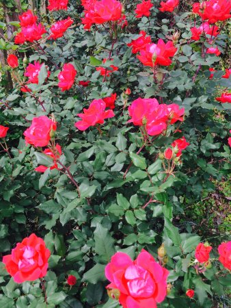 Natchitoches, LA: Knockout roses blooming!