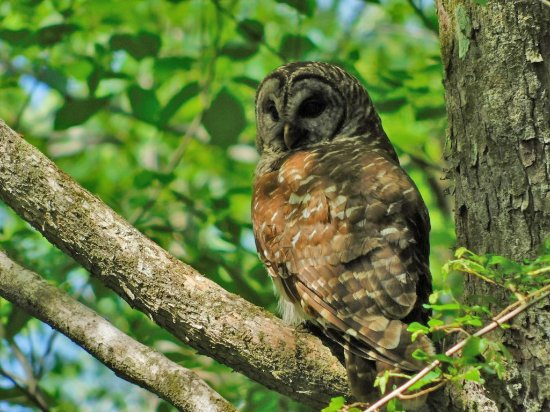 Harleyville, Carolina del Sur: Owl in the tree