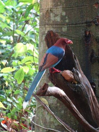 Zuidelijke Provincie, Sri Lanka: Blue Magpie