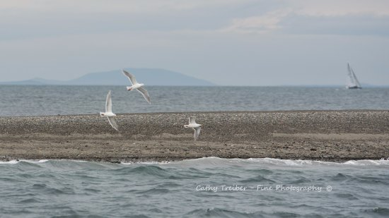 Puget Sound Express - Day Trips: Glaucous Winged Gulls