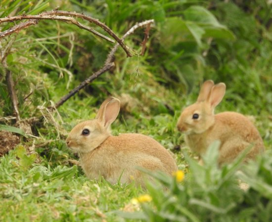 The Lizard, UK: The resident rabbits