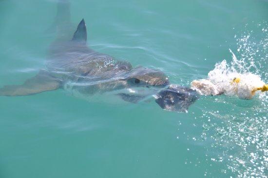 White Shark Ventures: Attack