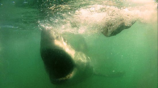 White Shark Ventures: Wide mouth