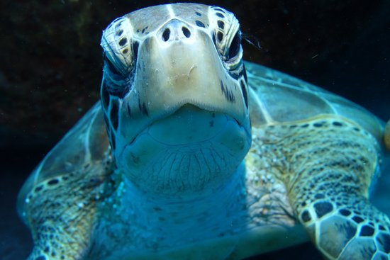 Windwardside, Saba: My friend the Hawksbill Turtle, scratching his carapace.