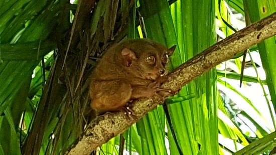 Tarsier Conservation Area Loboc 2019 All You Need To