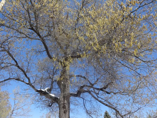 Chautauqua Park : Tree with spring buds and snow - parking lot