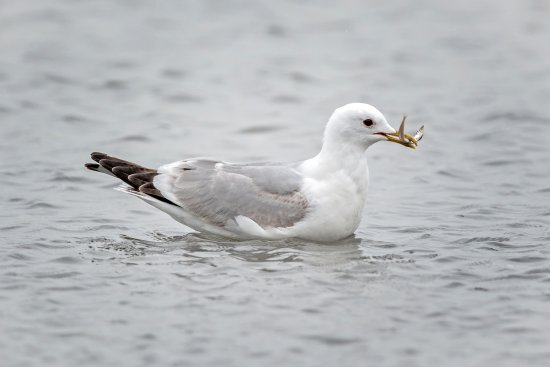 Freeland, WA: Non breeding Bonaparte Gull with fish.