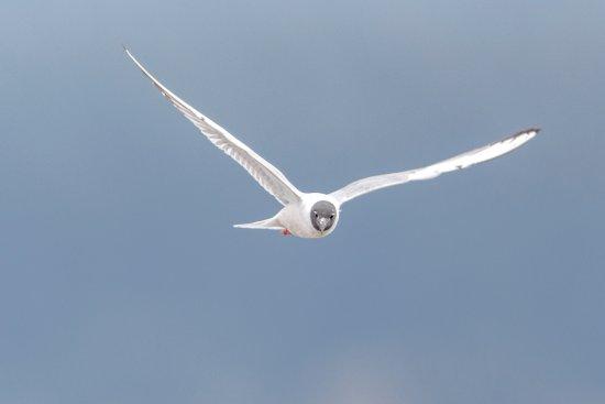 Freeland, WA: Breeding Bonaparte's Gull