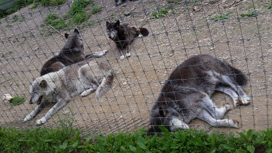 Wolf Sanctuary of PA : Several Wolves
