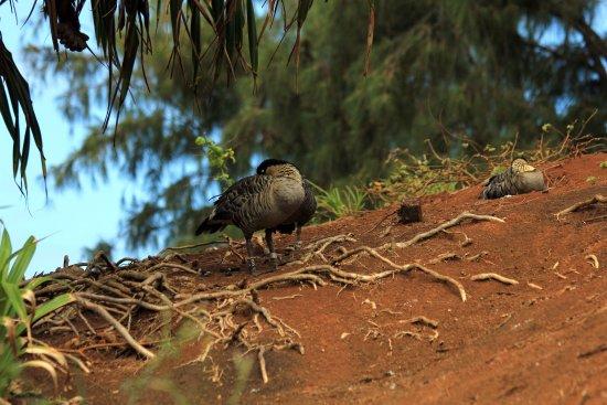 Kilauea, HI: Hawaiian Goose