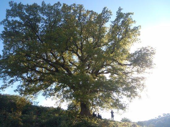 Uno dei numerosi alberi maestosi all 39 interno della for Alberi simili alle querce