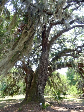 Hofwyl-Broadfield Plantation: Huge Live Oaks are everywhere on this beautiful plantation.