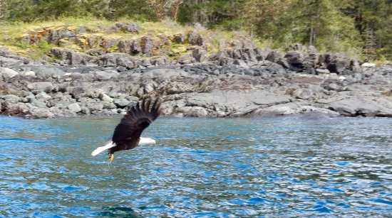 Campbell River, Canada: Eagles fishing.