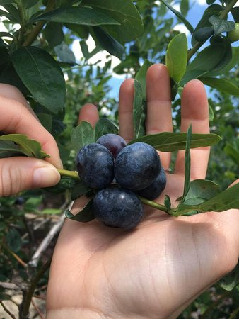 Red, White and Blues Farm: Berries the size of quarters!