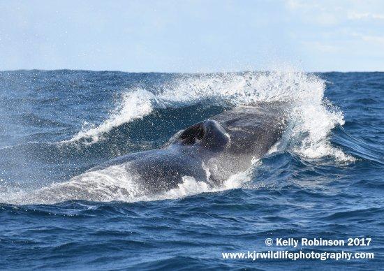 HortaCetáceos : Fin Whale