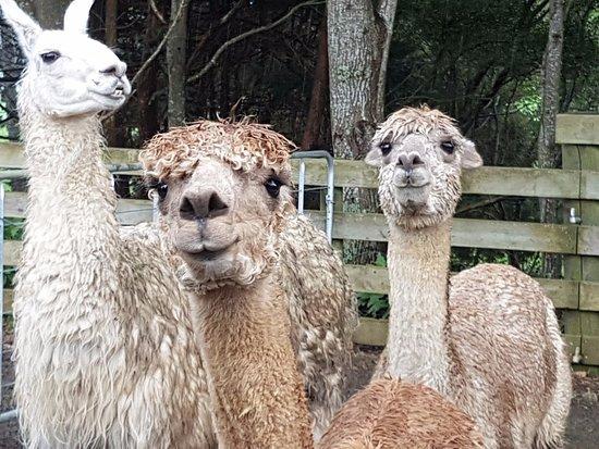 Tuakau, Neuseeland: Alpacas and a llama waiting to greet you.