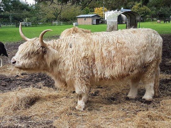 Tuakau, Neuseeland: Beautiful Scottish Highland cow - she's quite the farm celebrity.