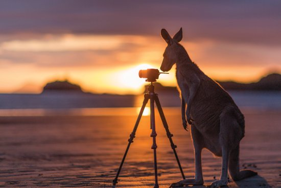 Mackay, Australia: Capture an iconic Aussie photograph of a kangaroo on the beach at sunrise in Cape Hillsborough.